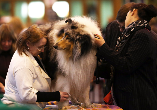 A dog is groomed on the first day of Crufts dog show at the NEC on March 6, 2014 in Birmingham, England. (Photo by Matt Cardy/Getty Images)
