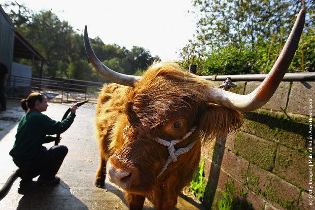 Melissa Sinclair livestock apprentice  prepares seven year old Maisie the Highland cow ahead of the International Highland Cattle Show