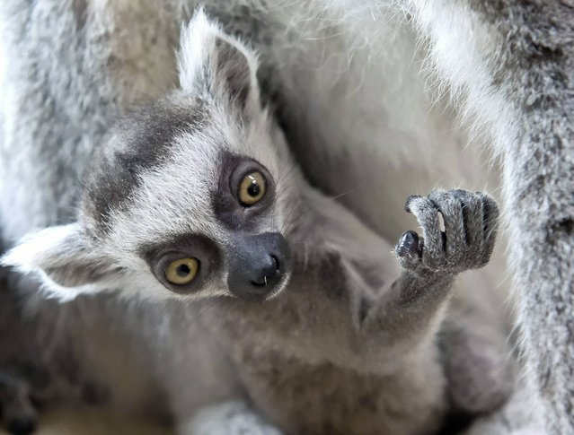 A four weeks old ring-tailed lemur (Lemur catta) plays in front of the mother in the Zoo in Erfurt, central Germany, Tuesday, April 22, 2014. (Photo by Jens Meyer/AP Photo)