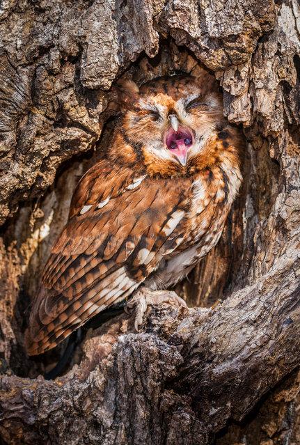 Yawning eastern screech owl. (Photo by Matt Cuda/Caters News Agency)