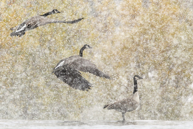 Canada Geese take flight off the Snake River in Idaho Falls, Idaho on Wednesday, October 9, 2019. The geese typically hunker down throughout Idaho's winter but can migrate as far south as Mexico. The v-pattern allows the birds to fly more efficiently according to the Library of Congress' website. (Photo by John Roark/The Idaho Post-Register via AP Photo)
