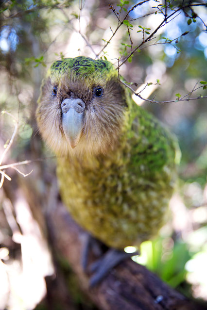 Sirocco is a kakapo, a large nocturnal parrot, who has his very own Facebook page with more than 170,000 likes. (Photo by Holly Wallace/BBC Pictures/The Guardian)