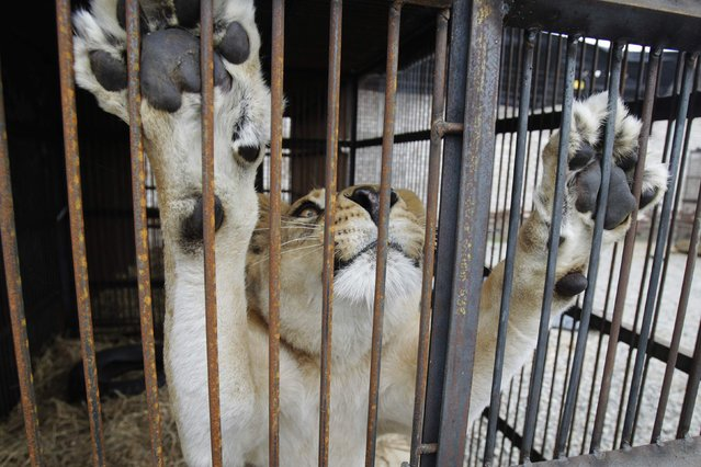 "Rescused lioness ""Amazonas"" is seen in its cage during quarantine at a temporary custody centre in Lima August 22, 2014. In the past week, British-based NGO Animal Defenders International (ADI) and Peruvian authorities oversaw the release of nine lions from three different circuses in the cities of Huaral, Ayacucho and Cusco. ADI said that the animals are being cared for in the quarantine facility before they will be relocated to specialized sanctuaries. (Photo by Enrique Castro-Mendivil/Reuters)"