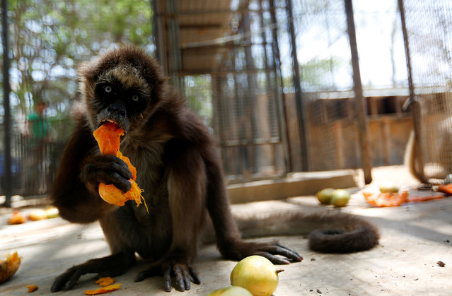 A spider monkey eats a mango at the Paraguana zoo in Punto Fijo, Venezuela July 22, 2016. (Photo by Carlos Jasso/Reuters)
