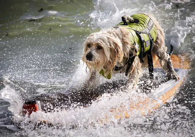 Waldo, a 6-year-old Tibetan Terrier belonging to Susan and Mike Leverette of Sebastian, competes in the third heat of the medium dogs division at the Hang 20 Surf Dog Classic at Carlin Park in Jupiter Saturday, August 29, 2015. (Photo by Bruce R. Bennett/The Palm Beach Post)