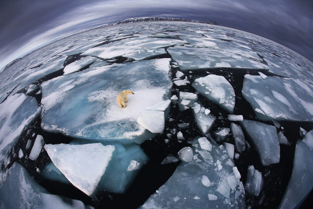 Winner. Photographer Anna Henly was on a boat in Svalbard – an archipelago midway between mainland Norway and the North Pole – when she saw this polar bear at around four in the morning. It was October, and the bear was walking on broken-up ice floes, seemingly tentatively, not quite sure where to trust its weight. (Photo by Anna Henly/Veolia Environnement Wildlife Photographer of the Year 2012)