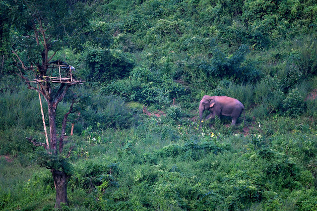 A wild elephant comes down from hills in search of food in Bherkuchi village in Kamrup (Rural) district of Assam state, India, 14 November 2017. According to news reports, this year there has been a rise in incidents of wild elephants, damaging the crops when scarcity of food and illegal encroachment of forest areas forces these wild elephants to wander into populated areas. (Photo by EPA/EFE/Stringer)