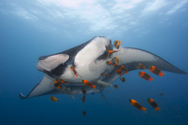 An oceanic manta ray being approached by a school of adult Clarion angelfish in the waters of the eastern tropical Pacific off of Mexicos Socorro Island, one of four islands in the Revillagigedo archipelago. Unlike many angelfishes, adult Clarion angelfish are cleaner fishes. Cleaners help rid their hosts of ectoparasites, dead tissue, bacteria and fungi. Studies have shown cleaning to play a vital role in keeping many marine ecosystems healthy. (Photo by Marty Snyderman/Caters News Agency)