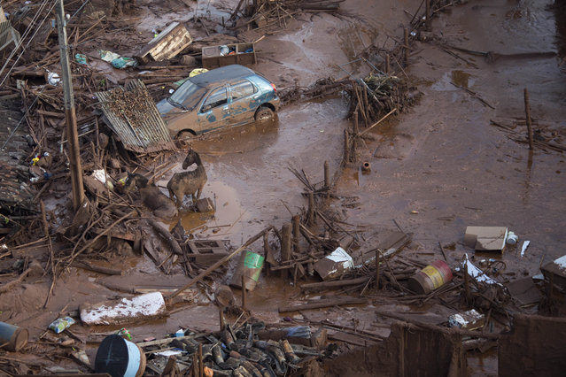 Horses struggles in the mud at the small town of Bento Rodrigues after a dam burst in Minas Gerais state, Brazil, Friday, November 6, 2015. (Photo by Felipe Dana/AP Photo)