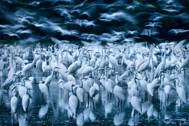 Great egret awakening by Zsolt Kudich. Finalist, Birds. When the River Danube flooded into Hungary's Gemenc forest, more than a thousand great egrets flocked to the lake to feed on the stranded amphibians, fish and invertebrates. (Photo by Zsolt Kudich/Wildlife Photographer of the Year 2015)