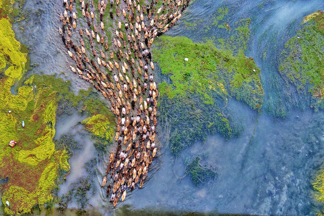 Ducks in the river Baral in Bangladesh. (Photo by Rafeur Rahman/Caters News Agency)