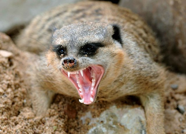 A meerkat yawns on June 13, 2013 at the Sababurg animal park near Hofgeismar, western Germany. (Photo by Uwe Zucchi/AFP Photo)