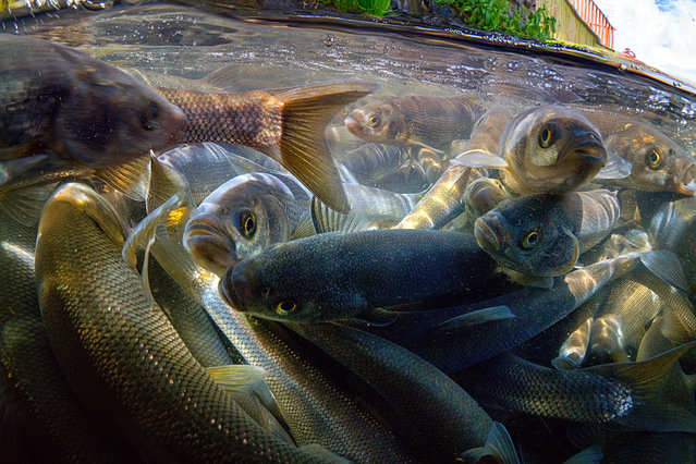 An underwater camera shows pearl mullets, an only fish species found in Van Lake as they migrate, moving the opposite direction of the water flow, from carbonated and salty water through freshwater during its spawning period from April 15 to July 15, in the eastern province of Van, Turkey on June 02, 2018. (Photo by Tahsin Ceylan/Anadolu Agency/Getty Images)