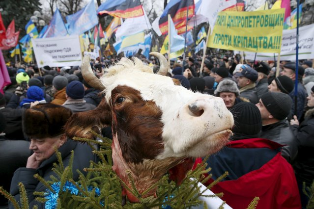 A cow's head is seen during a protest by farmers and their supporters against possible changes in tax regulations in the agricultural sector, currently considered by the authorities, outside the parliament headquarters in Kiev, Ukraine, December 17, 2015. (Photo by Valentyn Ogirenko/Reuters)