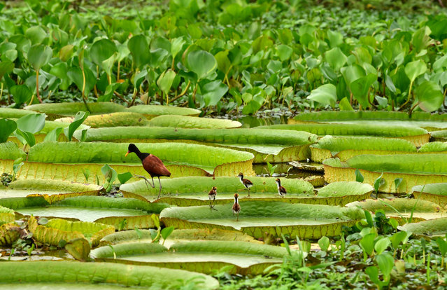 View of birds on Victoria cruzianas – species of the Nymphaeaceae family of water lilies – (Yacare Yrupe in Guarani), which appear every three to four years in great numbers and size in the Paraguay River, in Piquete Cue, north of Asuncion, on February 11, 2021. (Photo by Norberto Duarte/AFP Photo)