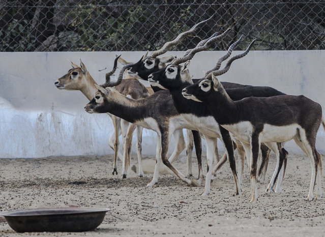 Black Bucks donated by the Netherlands play at the Lal Sohanra national park on the outskirts of Bahwalpur, Pakistan, 13 February 2015. The USA and the Netherlands helped in rehabilitation of the population of the endangered Black Bucks species by donating pairs of these animals to Pakistan. (Photo by Omer Saleem/EPA)