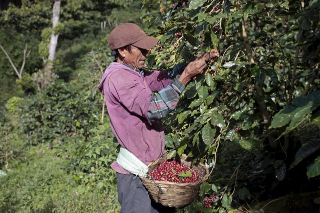 A man from the Nicaraguan ethnic tribe Sumos picks coffee berries at the Nogales farm in Jinotega, Nicaragua January 7, 2016. Soaring temperatures in Central America due to climate change are forcing farmers to pull up coffee trees and replace them with cocoa, spurring a revival in the cultivation of a crop once so essential to the region's economy. (Photo by Oswaldo Rivas/Reuters)
