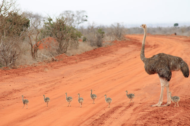 """Kevin Pogorzelski, November winner. """"On safari in Kenya, we were forced to stop our jeep for this family of ostriches to cross the dirt track. What made it so engaging was the mother attentively waiting for the chicks to cross while, out of shot, the father was leading the way"""". MICK RYAN, JUDGE: Funny-looking flightless birds and their offspring give us comedy and cuteness – and an immediate emotional response. A clear monthly winner by anyone's standards – and what lovely colour. (Photo by Kevin Pogorzelski/The Guardian)"""