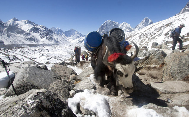 In this  Saturday, March 21, 2015 photo, a local sherpa woman walks walks beside her yak carrying supplies for the upcoming climbing season, near Everest Base camp, Nepal. (Photo by Tashi Sherpa/AP Photo)