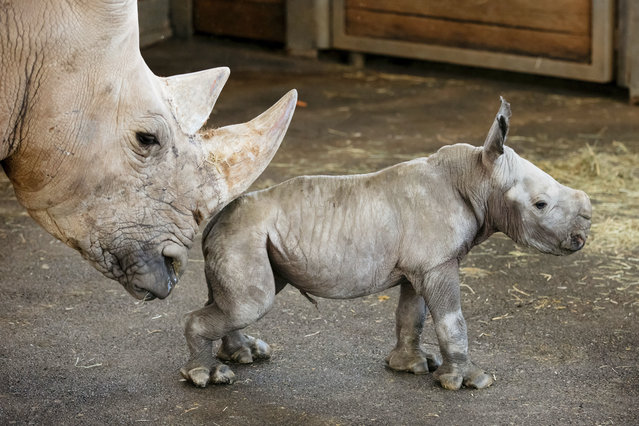 Female rhino Marcita stands with her new born cub in an enclosure at the Zoopark in Erfurt, Germany, Thursday, January 3, 2019. The male rhino cub was born on Dec. 29, 2018 at the zoo. (Photo by Michael Reichel/DPA via AP Photo)