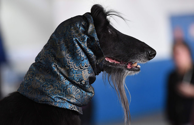 An Afghan Hound waits in the benching area during the Daytime Session in the Breed Judging across the Hound, Toy, Non-Sporting and Herding groups at the 143rd Annual Westminster Kennel Club Dog Show at Pier 92/94 in New York City on February 11, 2019. (Photo by Timothy A. Clary/AFP Photo)