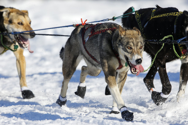 Cindy Gallea's team leaves the restart of the Iditarod Trail Sled Dog Race in Willow, Alaska March 6, 2016. (Photo by Nathaniel Wilder/Reuters)