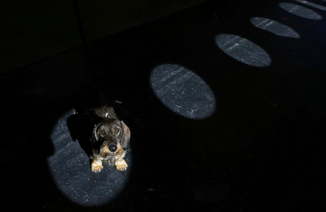 Rumba, a Wire Haired Dachshund stands in a shaft of light during the second day of the Crufts Dog Show in Birmingham, Britain March 11, 2016. (Photo by Darren Staples/Reuters)