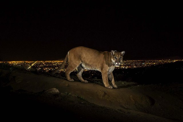 1st prize in the Nature Stories category. Steve Winter, USA, for National Geographic. The photo shows a cougar walking a trail in Los Angeles' Griffith Park captured by a camera trap, March 2, 2013. To reach the park, which has been the cougar's home for the last two years, it had to cross two of the busiest highways in the U.S. (Photo by Steve Winter/World Press Photo)