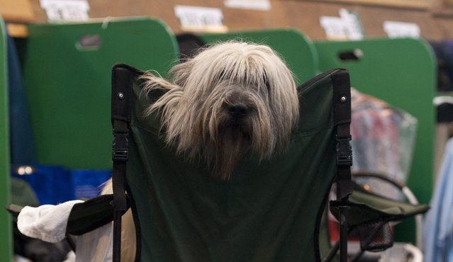 A Polish Lowland Sheepdog takes a break during competition at the Crufts Dog Show 2014 at the National Exhibition Centre in Birmingham, Britain, 06 March 2014. This year, Crufts will be held from 06 to 09 March with over 2,650 dogs from 48 different countries competing with 185 different breeds expected to compete in different categories. (Photo by Will Oliver/EPA)