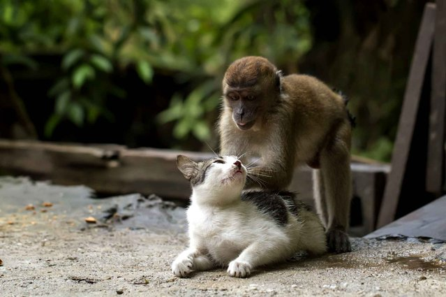 A cat enjoys a comforting back massage from a young crab-eating macaque. The display of friendship was caught on camera by Hendy Mp, 25, at his friend's home in Indonesia. (Photo by Hendy Mp/Solent News/SIPA Press)