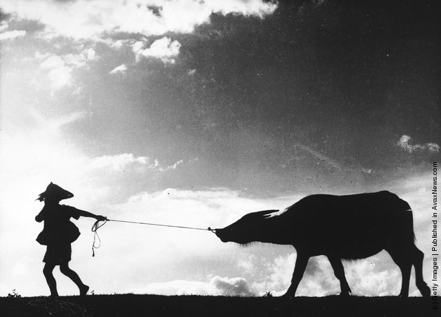1968: A Taiwanese farm worker pulls a water buffalo by the nose after a long day working in the rice fields