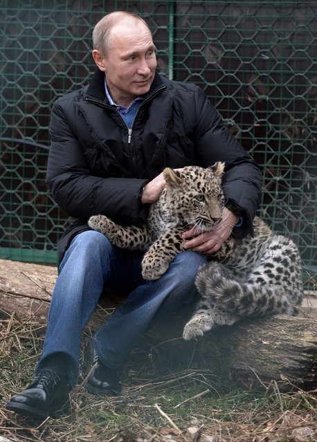 Russian President Vladimir Putin pets a snow leopard cub at the snow leopard sanctuary in the Russian Black Sea resort of Sochi, Tuesday, February 4, 2014. (Photo by Alexei Nikolsky/AP Photo/RIA-Novosti/Presidential Press Service)