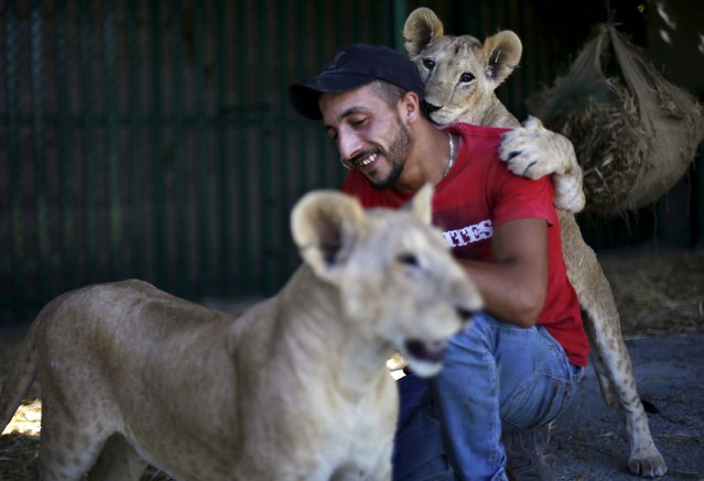 Seven-month-old lion cubs, Mona and Alex, play with a keeper inside their enclosure after their arrival in Amman, Jordan, July 23, 2015. Two lion cubs rescued from Gaza earlier in July have found a new home at a wildlife sanctuary in neighbouring Jordan. The seven-month-old cubs were removed from the Gaza home of a Palestinian refugee, according to Mahdi Quatrameez, the Chief Executive Officer (CEO) of the Amman-based Al Ma'wa for Nature and Wildlife (MNW). (Photo by Muhammad Hamed/Reuters)