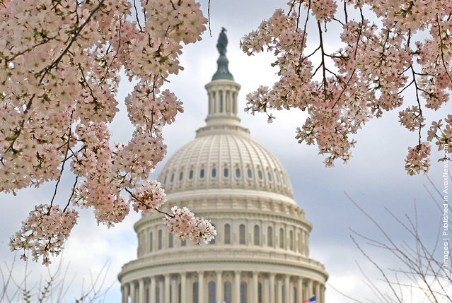 A Dogwood tree is in full bloom in front of the U.S. Capitol on March 19, 2012 in Washington, DC
