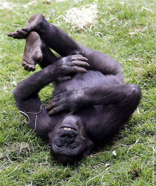 """""""A five year old gorilla named Yakini playfully rolls around in his Gorilla Enclosure at Australia's Melbourne Zoo"""""""