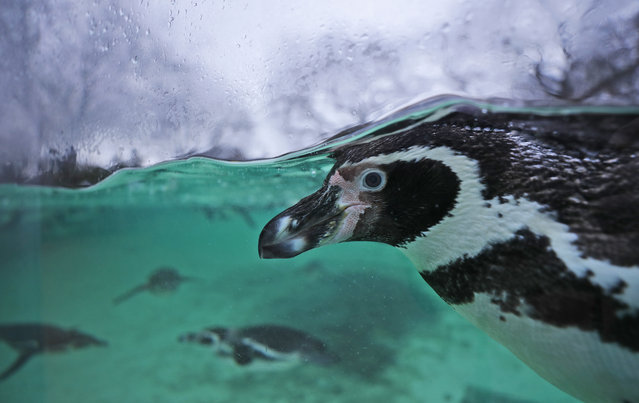 A Humboldt penguin swims in a pool during the annual stock take at ZSL London Zoo in London, Thursday, January 2, 2020. Caring for more than 500 different species, ZSL London Zoo's keepers face the challenging task of tallying up every animal large and small, every mammal, bird, reptile, fish and invertebrate at the Zoo. (Photo by Frank Augstein/AP Photo)
