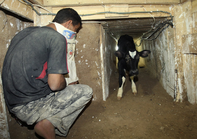 A Palestinian smuggles a calf through a tunnel beneath the Egyptian-Gaza border in Rafah December 4, 2008. (Photo by Suhaib Salem/Reuters)