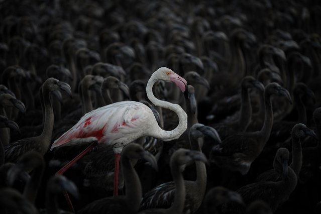 A flamingo and flamingo chicks are seen in a corral before being tagged at dawn at the Fuente de Piedra natural reserve, near Malaga, southern Spain, July 19, 2014. Around 600 flamingos were tagged and measured before being placed in the lagoon, one of the largest colonies of flamingos in Europe, according to authorities of the natural reserve. (Photo by Jon Nazca/Reuters)