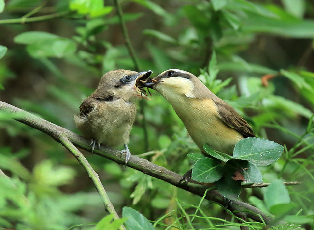 A brown shrike feeds her chick on a tree branch in a forest in Gangneung, Korea – a resort city on the east coast, on 06 July 2016, as the annual monsoon season recedes briefly after two days of torrential rain. (Photo by EPA/Yonhap)