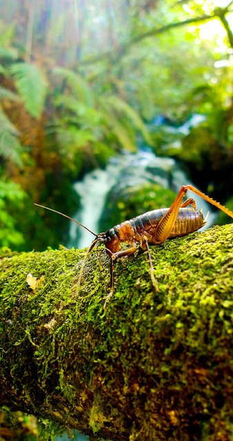 This species of tusked weta can grow up to 3.6cm in length. In a land over-run with land-based predators, its ingenious strategy to escape danger has proved very useful. It jumps into water and can hold its breath for more than five minutes – enough time for predators to give up and move on. (Photo by Nick Easton/BBC Pictures/The Guardian)