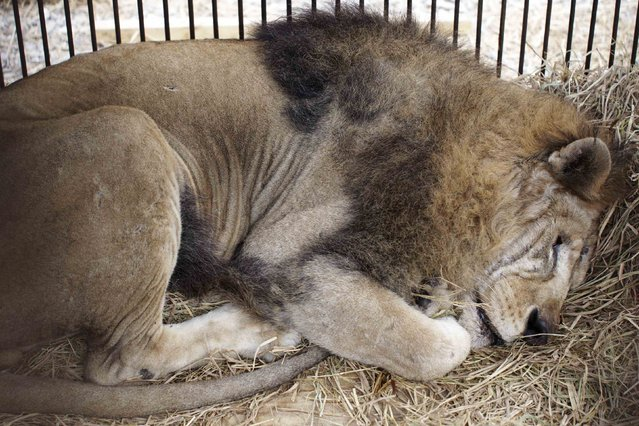 "Rescued lion ""Leo"" rests in its cage during quarantine at a temporary custody center in Lima, August 22, 2014. (Photo by Enrique Castro-Mendivil/Reuters)"
