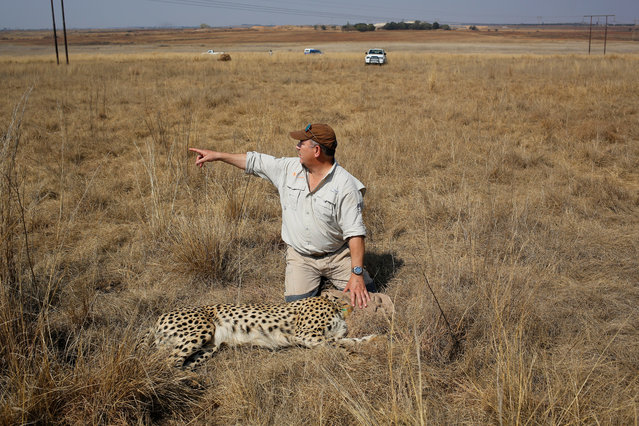 Dr Johan Marais sits with a cheetah they just darted to remove a malfunctioning collar at the Rietvlei Nature Reserve, Pretoria, South Africa, 07 September 2017. (Photo by Kim Ludbrook/EPA/EFE)