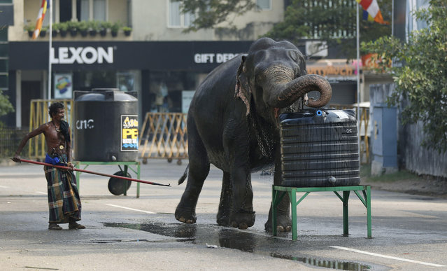 In this February 14, 2014 file photo, a domesticated elephant brought for an annual Buddhist temple festival drinks waters from a tank in Colombo, Sri Lanka. (Photo by Eranga Jayawardena/AP Photo)