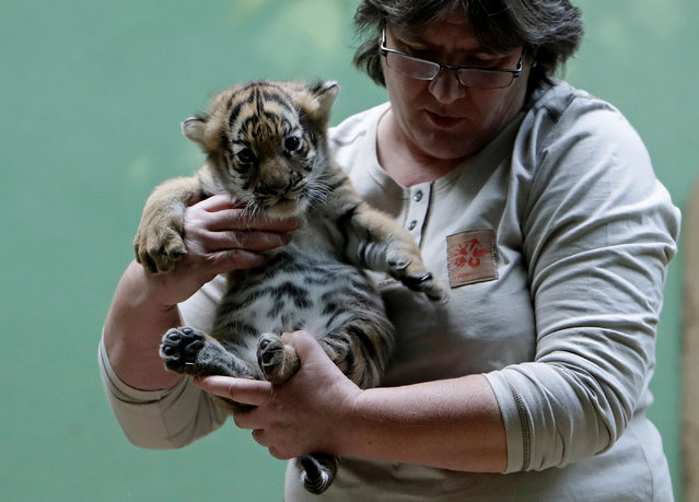 A zoo keeper carries a newly born Malayan tiger cub in its enclosure at the Prague Zoo in Prague, Czech Republic November 14, 2017. (Photo by David W. Cerny/Reuters)