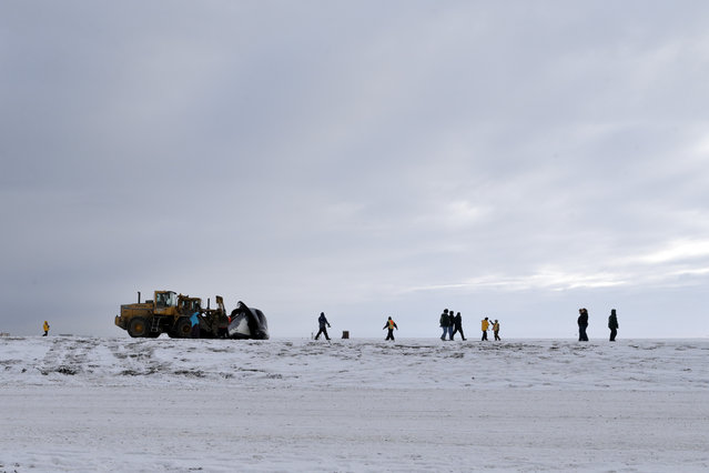 In this October 7, 2014, photo, a whale is pushed onto a frozen metal landing strip for butchering in a field near Barrow, Alaska. The whales, which can reach sixty feet in length and weigh more than 100 tons, can take a Herculean effort to move, both at sea and on land. (Photo by Gregory Bull/AP Photo)