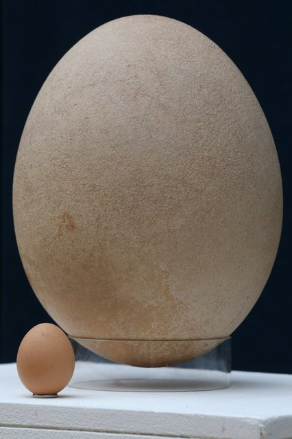 """A complete sub-fossilised elephant bird egg sits next to a chicken's egg, in Christie's auction house on March 27, 2013 in London, England. The elephant bird egg is expected to fetch 30,000 GBP when it features in Christie's """"Travel, Science and Natural History"""" sale, which is to be held on April 24, 2013 in London.  (Photo by Oli Scarff)"""