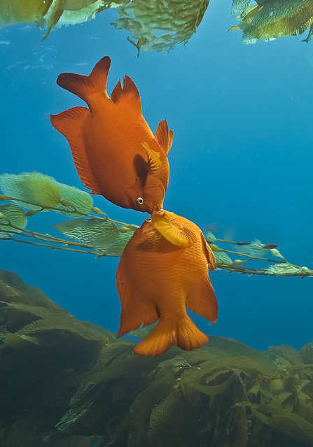 The garibaldi, the species pictured here, is the California state marine fish. Here you see two males in the midst of conflict over their turf. (Photo by Marty Snyderman/Caters News Agency)
