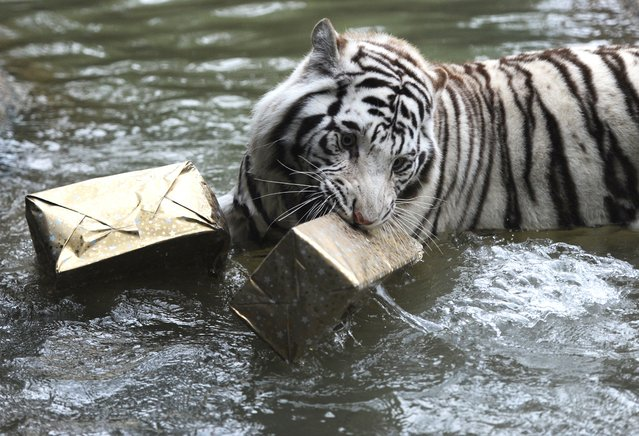 A white tiger catches in his mouth a wrapped Christmas package filled with food at the zoo in La Fleche, western France, on December 23, 2014. (Photo by Jean-Francois Monier/AFP Photo)