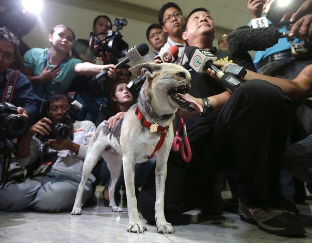 Dr. Anton Lim is interviewed by the media as he holds Kabang, a two-year-old injured mixed breed, upon arrival at the Ninoy Aquino International Airport in Pasay city, south of Manila, Philippines, early Saturday June 8, 2013 from San Francisco, Calif. Kabang lost her snout and upper jaw saving two girls' lives in the Philippines was headed back to its owner following treatment at the University of California, Davis veterinary hospital. (Photo by Bullit Marquez/AP Photo)