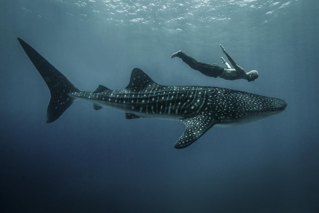 A Freediver with a whale shark in the Philippines. (Photo by Sean Lee-Davies/Caters News)